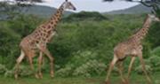 giraffes-in-uganda