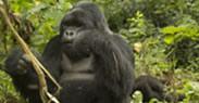 gorilla tracking trip