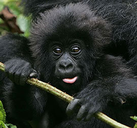 baby gorilla playing in Volcanoes National Park Rwanda