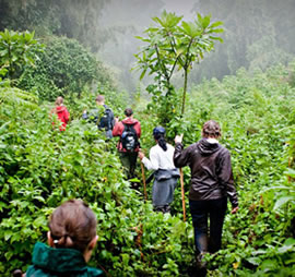 The Trek in search for Mountain Gorillas in Africa