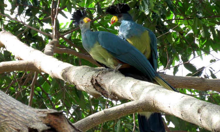 birding-mabira