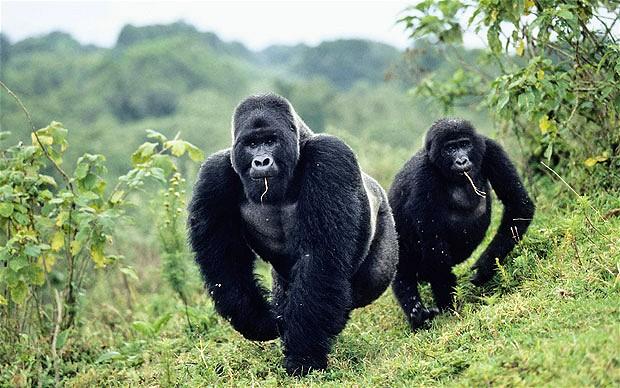 congo-gorillas