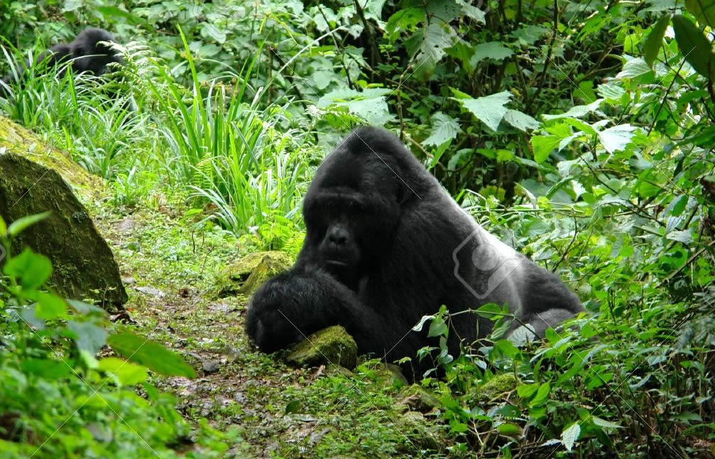 mountain-gorillas-bwindi