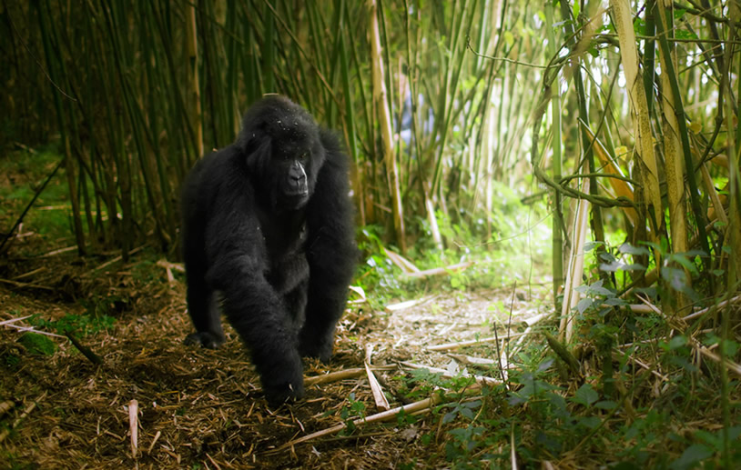 gorilla-volcanoes-rwanda